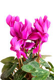 Cyclamen. Stock Image