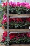 cyclamen Le cyclamen fleurit dans la fleur en serre chaude prête pour des ventes Cyclamens roses, pourpres, ornementaux, blancs,  Photographie stock libre de droits