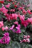 cyclamen Le cyclamen fleurit dans la fleur en serre chaude prête pour des ventes Cyclamens roses, pourpres, ornementaux, blancs,  Image libre de droits
