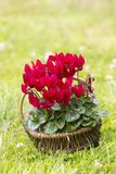 cyclamen le persicum Photo stock