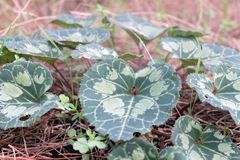 Cyclamen leaf inside the forest Royalty Free Stock Photos