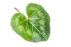 cyclamen leafen Royaltyfria Bilder