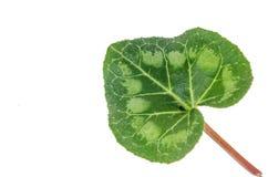 cyclamen leafen Royaltyfria Foton