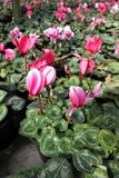 cyclamen Mettez en place avec des fleurs de cyclamen dans la fleur en serre chaude prête pour des ventes Cyclamens roses, pourpre Photographie stock libre de droits
