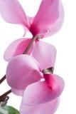 cyclamen Mooie bloem op lichte achtergrond Stock Afbeeldingen