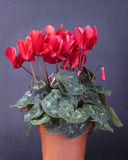 Cyclamen persicum. Red clycamen on a pot on black background Royalty Free Stock Image
