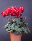 cyclamen persicum Стоковое Изображение RF