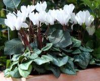 cyclamen persicum Стоковые Фото