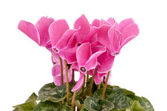 Cyclamen persicum. Flower Cyclamen persicum isolated on a white background Royalty Free Stock Photos