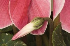 cyclamen persicum Стоковое Изображение