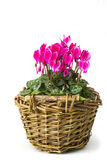 Cyclamen persicum in a basket Royalty Free Stock Photos