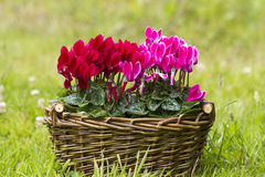 Cyclamen persicum in a basket Stock Photo
