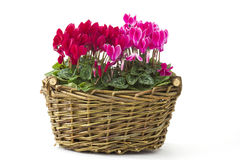 Cyclamen persicum in a basket Royalty Free Stock Photography