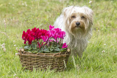 Cyclamen persicum in a basket and yorkshire terrier Royalty Free Stock Images
