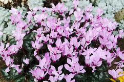 Cyclamen Persicum Stock Photo