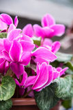 Cyclamen persicum Mill Stock Images
