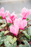 Cyclamen persicum Mill Stock Image