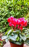 Cyclamen persicum in a pot,The background is a green tree royalty free stock photo