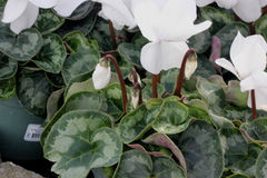 Cyclamen persicum White. Cultivar with compact plants with large white flowers, suited for high density growing, easy to grow stock photos