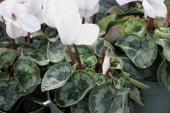 Cyclamen persicum White. Cultivar with compact plants with large white flowers, suited for high density growing, easy to grow royalty free stock photo