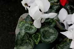 Cyclamen persicum White. Cultivar with compact plants with large white flowers, suited for high density growing, easy to grow stock photo