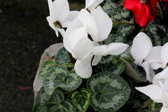 Cyclamen persicum White. Cultivar with compact plants with large white flowers, suited for high density growing, easy to grow royalty free stock image