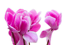 Cyclamen pink flower Royalty Free Stock Photography