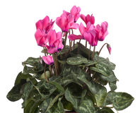 Cyclamen. Pink flower, mountain flower Stock Photography