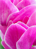 Cyclamen pink flower Stock Images