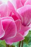 Cyclamen pink flower Stock Photo