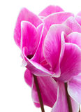 Cyclamen pink flower Stock Photo