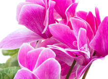 Cyclamen pink flower Royalty Free Stock Images