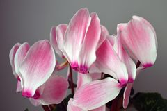 Cyclamen pink flowers royalty free stock photos