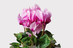 Cyclamen pink flowers. With green leaves Stock Photography