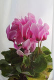 Cyclamen pink flowers. With green and yellow leaves Stock Images