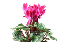 Cyclamen pink flowers. On a white background Royalty Free Stock Photos