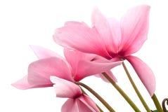 cyclamen pinken Royaltyfri Bild