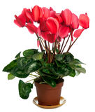 Cyclamen plant Royalty Free Stock Photography
