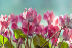 Cyclamen plant with pink flowers. Closeup of cyclamen plant with pink flowers blooming Stock Photography