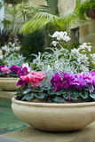 Cyclamen plants in beautiful earthenware pots Stock Photography