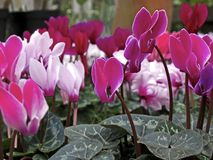 Cyclamen Royalty Free Stock Image