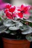 Cyclamen in a pot. Stock Photos