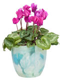 Cyclamen in a pot Stock Images