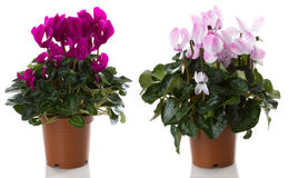 cyclamen potrd цветков цветка Стоковая Фотография RF