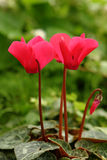 cyclamen red Arkivfoto