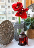 Cyclamen and red hippeastrum with a christmas lantern. Stock Images