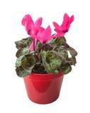 Cyclamen rose dans un pot rouge d'isolement Photos stock