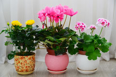 Cyclamen, rose and geranium on background of white curtains Stock Photography