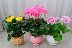 Cyclamen, rose and geranium on background of white curtains Royalty Free Stock Images
