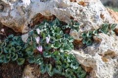 Cyclamen sauvage entre les roches Image stock
